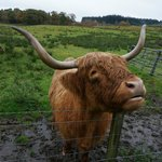 The hairy coos :p