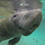 Zwemmen met manatee