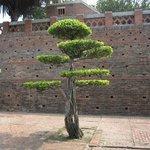 arbres taillés