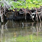Close up of racoon in the mangroves
