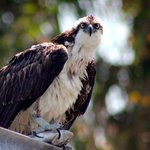This osprey had caugth a fish and was eating it on top of the boat lift