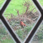 pheasant outside my room