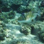 Arabian Picassofish - Triggerfish - Rhinecanthus assasi