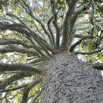 150+ year magnolia tree