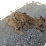 Lion Cubs trying to stay cool in the shade of the vehicle