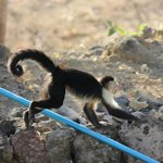Monkey scampering over pool net.