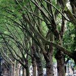 Деревья вдоль аллеи