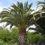 Palmier du site de Guimar