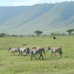 Zebras, Crater Rim in Background