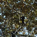 Howler monkey in the trees outside the villa