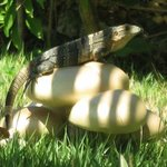 Iguana mushroom