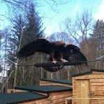 Orla - Golden Eagle - amazing