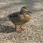Mallard by the lake, where boats can be hired at weekends and through the summer!