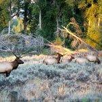 Bull Elk in the fall