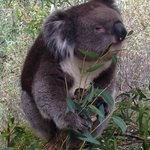 Another hungry Koala