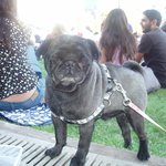 Black Pug in the Park