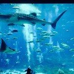 Whale shark tank
