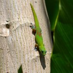 Cool gecko on a palm tree