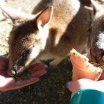meeting kangaroos at featherdale wildlife park!