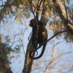 Many monkeys on the property - in late afternoon