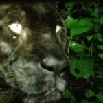 Lucky the Black Panther at the Zoo's Night Tour