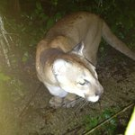 Lion on the Zoo's Night Tour