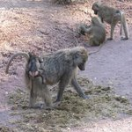 baboons and babies