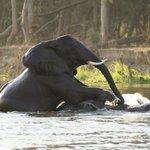 spielende elefanten im sambesi