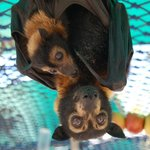 Mother and baby Spectacled flying fox