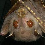 Adult tube-nosed bat that has grown its spots