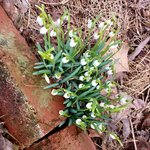 Early spring - snowdrops by the steps to the front door