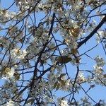 山桜には沢山のメジロが蜜を吸っていた