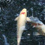 """明神池名水公園を泳いでいた鯉に""""山""""の彫り物がありました"""