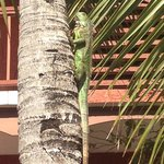 Hotel gardens, beautiful and harmless iguana