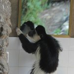 Colobus monkey looking in the mirror