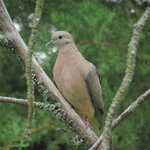 Eared dove always ready for more