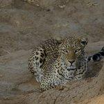 leopard am frühen morgen