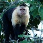 One of the capuchin monkeys we saw.