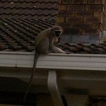 Vervet monkeys gave us some laughs