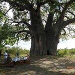 Le baobab géant au pied duquel nous avons pris notre petit déjeuner