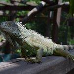 Adult iguana