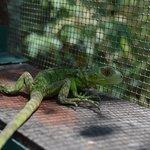 Green iguana baby