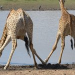 giraffes drinking at Amakhala water hole