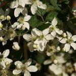 Dogwoods in bloom