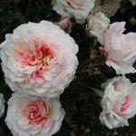 Un rosal del jardín externo.