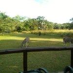 Zebras hinter dem Pool