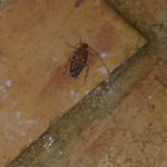1/4 roaches killed-different angle  (from third night) @ bedroom floor