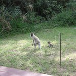 monkeys outside my tent
