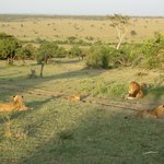 lions in the morning light