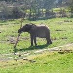Elephan stripping bark off branch